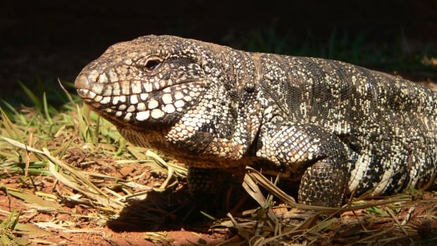 Tattersall and his team studied tegu lizards that are kept at a research centre in Brazil.