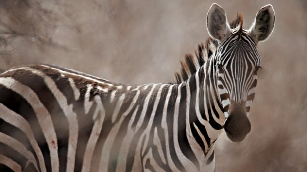 The question of why zebras have stripes has puzzled scientists for over a century.
