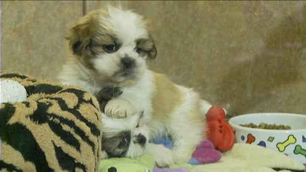 Two dogs frolic at Little Critters in Ottawa. It's one of three pet stores that sell animals in the city for a profit, and may be among the last, depending on whether changes are made to the city's pet sales bylaw.