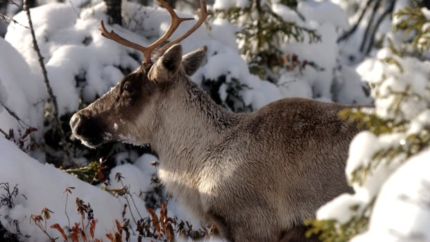 Most of Canada's woodland caribou populations are in decline.