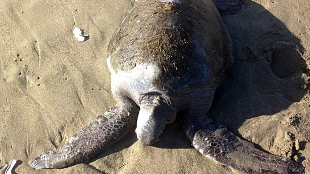 The green sea turtle was spotted by a park visitor near the high-tide mark on Wickaninnish Beach in Pacific Rim National Park Reserve, said Parks Canada.