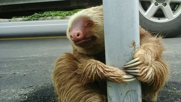 Normally a tree-hugger, this sloth clearly took a wrong turn in Ecuador.