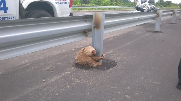 Ecuador highway sloth found hugging a pole
