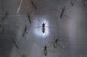 Recife Brazil Jan 26 2016 Aedes aegypti mosquitos