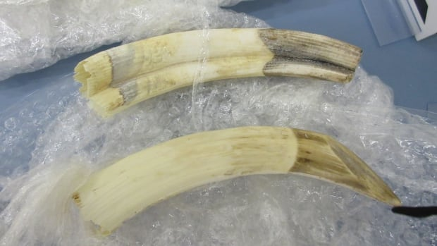 These hippopotamus tusks were among the items CBSA officers seized at Edmonton International Airport last year.
