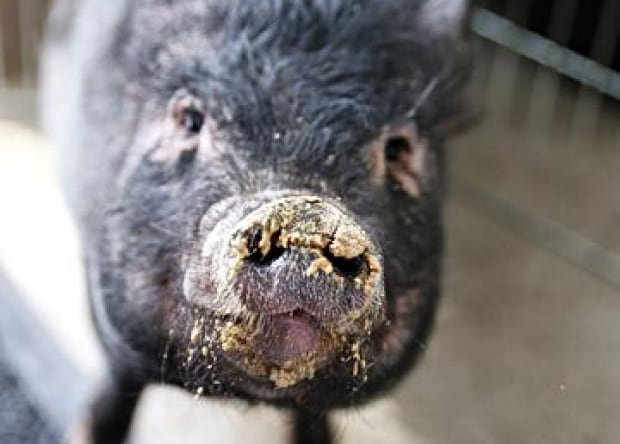 Scarlet the pig
