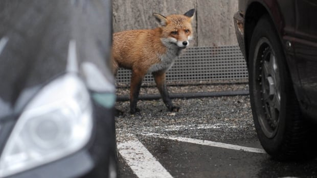 Foxes behave similarly to dogs, and have been known to steal newspapers, shoes and toys.