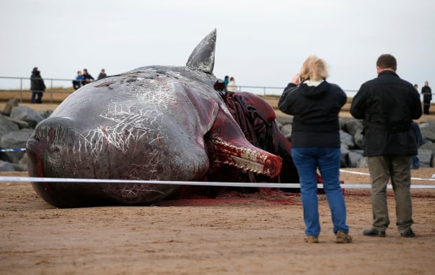 WIP BRITAIN-SPERM WHALE washes up on Skegness Jan 25 2016