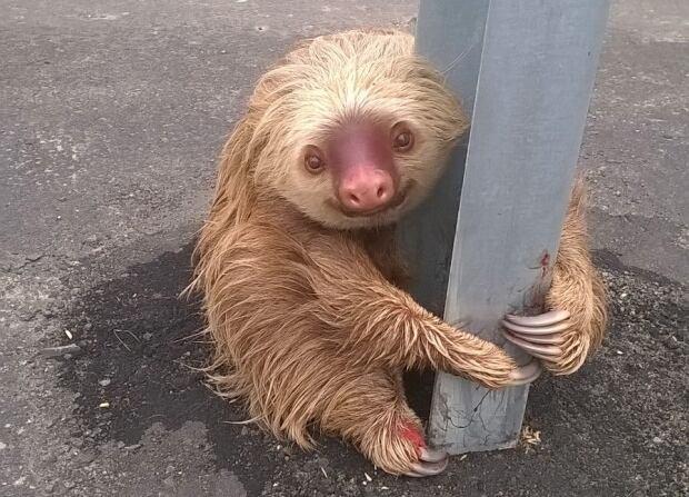 WIP ECUADOR-highway sloth rescued Jan 22 2016