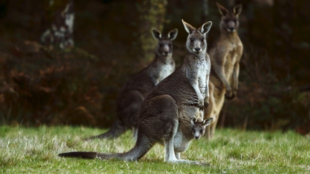 """Prosecutors alleged in court documents that the teenager discussed with a British-based accomplice in online conversations that a kangaroo could be packed with explosives, painted with """"the IS symbol"""" and set loose on police."""
