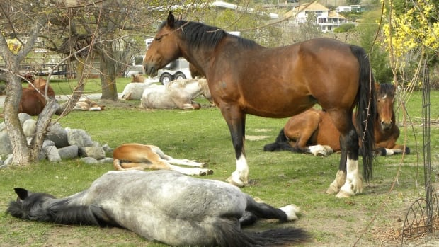 Free-ranging horses resting on Theresa Nolet's property in Penticton
