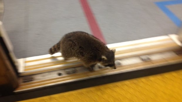The raccoon 'minds the gap' as it leaves the subway at Spadina station Tuesday morning.