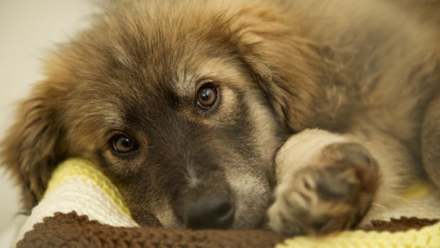 One of the rescued puppies now in the care of the Kelowna SPCA.