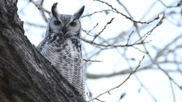 The great horned owl is native to the area in Red Deer where Bozdech was skiing when he was attacked twice by the bird of prey.