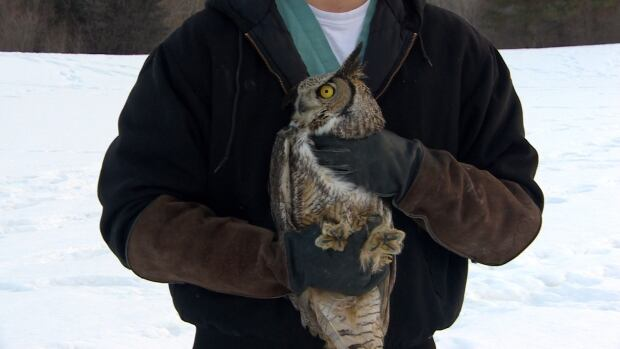 Released owl saskatoon 3