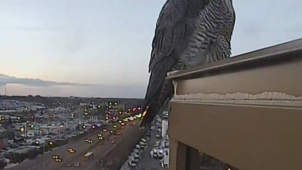 This bird monitored commuters along Highway 417 this morning in Ottawa.