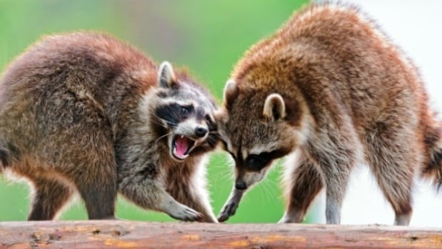 More cases of raccoon rabies reported by the city of Hamilton on Feb. 3.