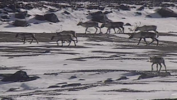 The George River caribou herd has about 10,000 animals left, according to a survey in the fall of 2015, and the population continues to dwindle.