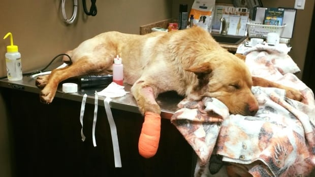 Dexter is one of several badly injured dogs that Regina's CC RezQs dog rescue is caring for this week.