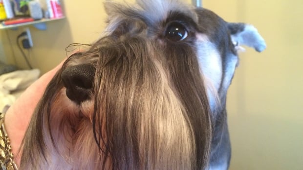 This five-year-old Miniature Schnauzer, Elle, has unclipped ears. In Quebec, veterinarians will no longer be allowed to dock or cut the tails of dogs, cattle and horses for cosmetic reasons.