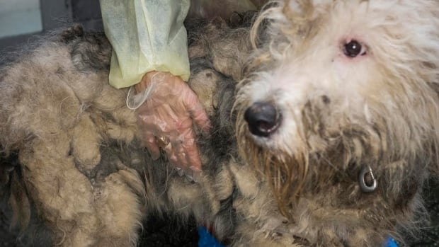 This sheep dog, one of 66 seized in last week's raid, is suffering from a badly infected eye amongst other issues.