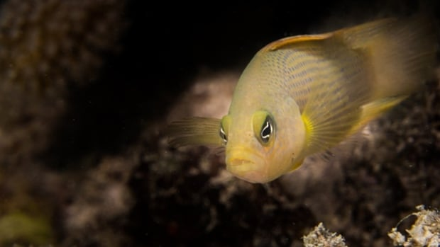 The dusky dottyback watches the ambon damselfish in the Great Barrier Reef.