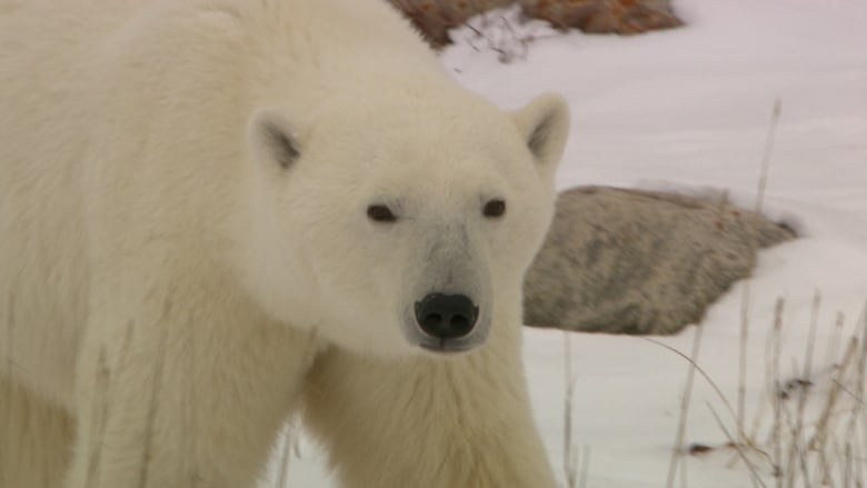 Polar Bear Numbers Could Drop A Third By Mid Century Says Study
