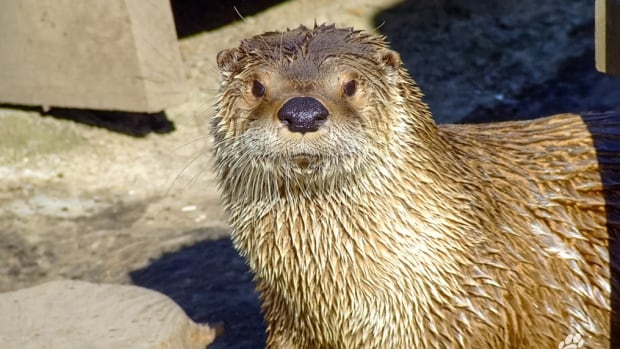 Logan, a 12-year-old male North American river otter, died after getting tangled up in a pair of pants an employee had provided as 'an enrichment item.'