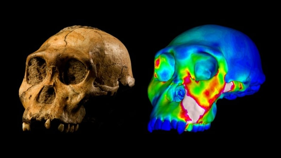 Fossil A. sediba skull and a computer model of the skull with colours representing bite forces on the jaw.