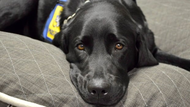 Service dogs are not simply emotional support; they are trained to perform specific tasks which assist people suffering from PTSD.