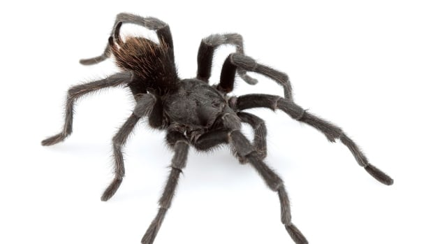 U.S. scientists named this new species of tarantula after the late singer Johnny Cash because adult males 'dress' in black.