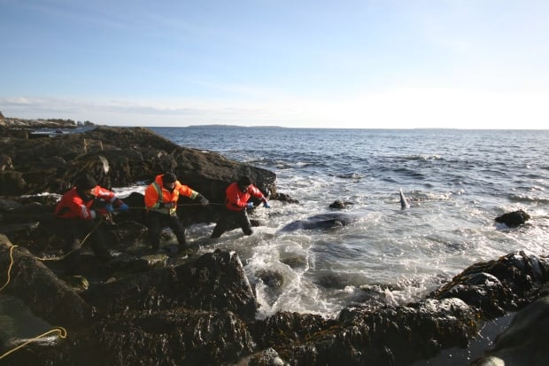 DFO moving Cuvier's beaked whale