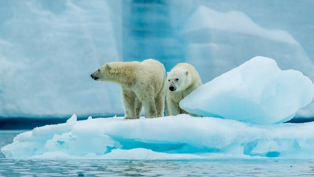 Jaime Sharp paddled past these two polar bears in the summer of 2015.