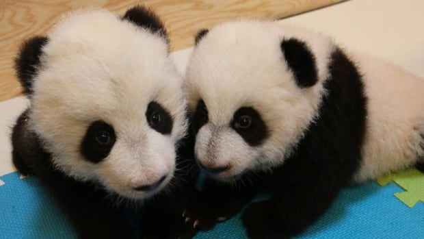 The giant panda cubs at Toronto Zoo are now four months old.