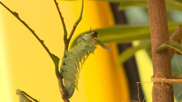 caterpillar for cobra moth
