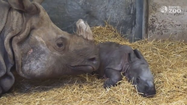 The Toronto Zoo's newest addition is a baby Indian rhino, a species currently listed as vulnerable on the International Union for Conservation of Nature (IUCN) Red List of Threatened Species.
