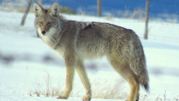 A Whitehorse woman says a close call with a coyote won't keep her from jogging the city's wilderness trails.