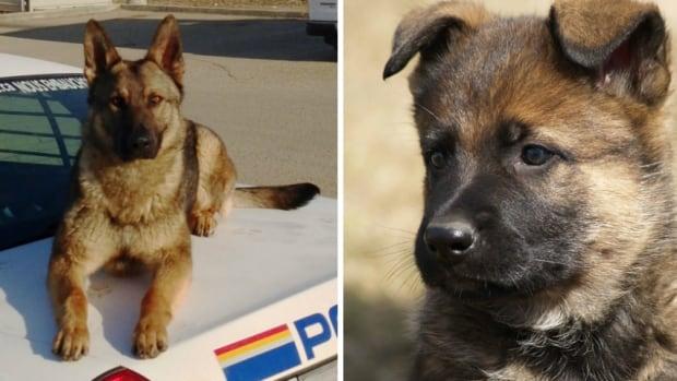 Police Dog Service Training Centre Innisfail Ab