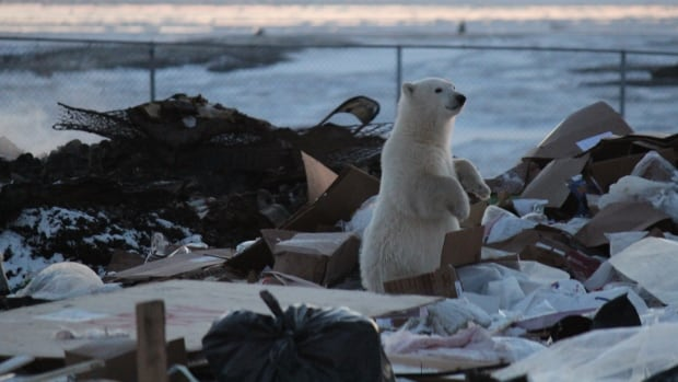 'Before we joined up with the hamlet there was on average about eight bears that had to be dispatched every year,' said Paul Crowley the director of WWF-Canada's Arctic Program.
