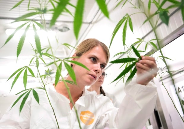 Cannabis Pest Control 20150823
