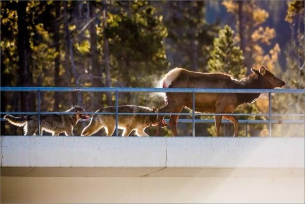 banff wolf elk 2