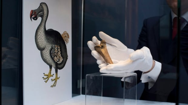 A rare fragment of a Dodo femur bone is displayed for photographs next to an image of a member of the extinct bird species at Christie's auction house's premises in London, in 2013.