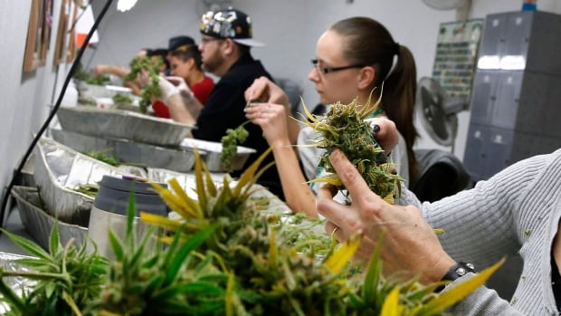 Employees trim away leaves from marijuana plants to be packaged and sold at a dispensary in Colorado. As Canada moves towards legalization, what can it learn from those jurisdictions that have already made the change?