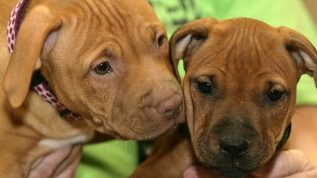 Two pit bull puppies, similar to these dogs, were stolen in a home invasion in northwest Calgary, police say.