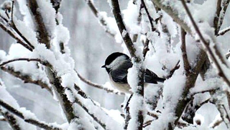 How birds stay warm through Canada's cold winters   CBC News