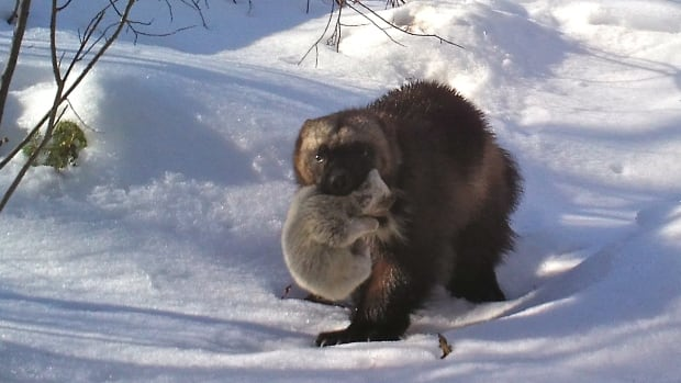 Andrew Manske captured what he believes is a world first – footage of wild wolverine kits. Their mother carries the pale grey, squealing, fluffy bundles outside the den while moving them to a new location in broad daylight.