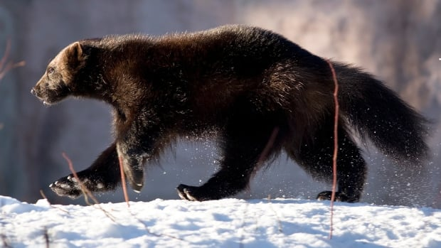 A wolverine on the prowl. A trap has been placed in the woods near Yellowknife's William McDonald middle school after several wolverine sightings over the weekend.
