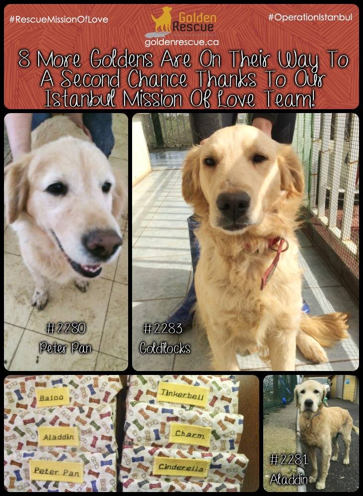 Ontario rescue group welcomes Golden Retrievers abandoned in