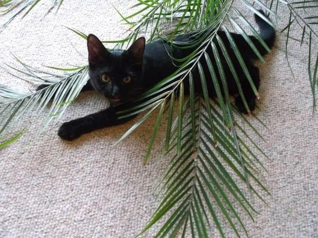 Mingus black cat