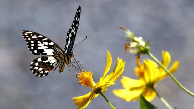 Butterflies and other pollinating critters are at risk of extinction, says a United Nations mega-report.